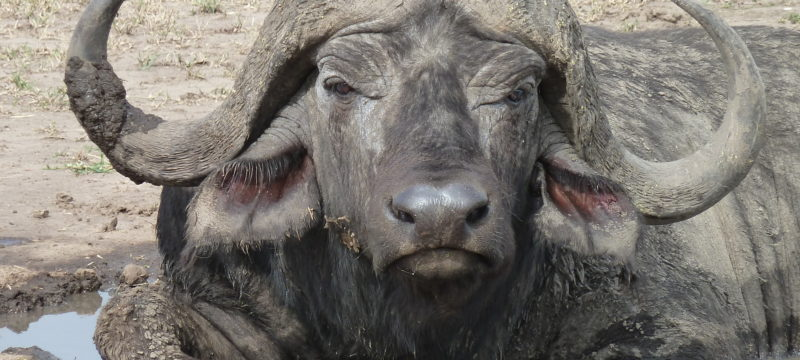 buffalo.. a face only a mother could love.