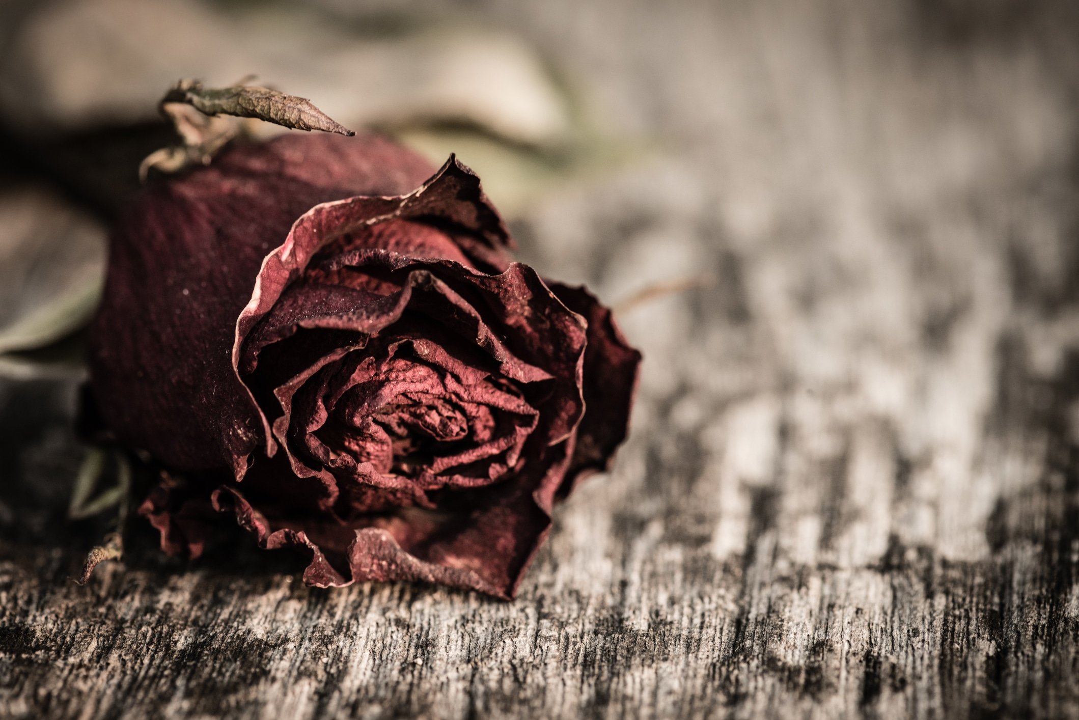 Closeup dried red rose, dead red rose on wooden background with